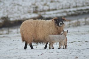 A Mother sheltering her lambs from the snow and wind with a wee plastic jacket on at Bothwell Farm near Cranshaws taken today by Louise Renton from Duns