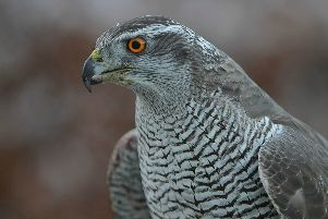 Borders goshawks deaths