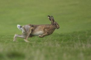 Suspected hare coursing in East Lothian is investigated