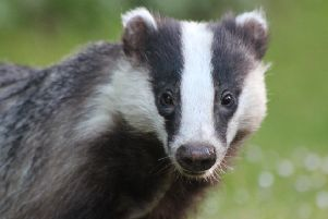 Network Rail's ecologists across Scotland work with the civil engineering teams to protect badgers and their habitats alongside railway lines.