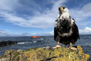 As part of the tour, visitors can take Ripley the sea eagle (pictured)with them. Ripley has been trained aboard the boat to catch fish in the local waters. (Photo courtesy of Glenapp Castle)