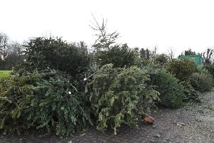Old Christmas trees are being used to help restore sand dunes.