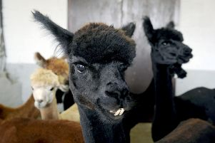 There are alpacas of various colours at Orchardhill Farm. This is Womble. Picture: Michael Gillen.