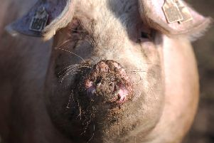 The pigs were accused of running amok in the grounds of Whittinghame House. File picture: Kimberley Powell