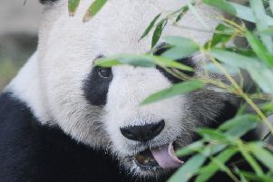 Edinburgh Zoo''Yang Guang, the male, in his outdoor enclosure chomping away on  bamboo.