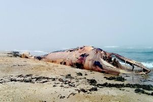 A decomposing 30ft minke whale Belhaven beach, near Dunbar in East Lothian. Picture: SWNS