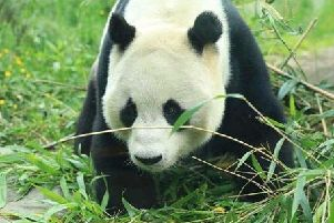 Giant panda Yang Guang is said to be recovering well following an operation to remove both testicles due to the presence of tumours.