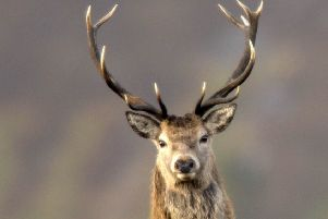 The deer was slain before being carted off
