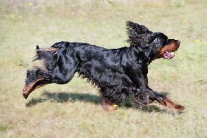 A Gordon Setter. Picture: Wikimedia Commons.