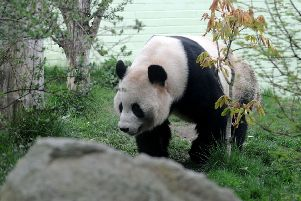 The nightime security for Edinburgh Zoo's pandas could be affected by the collapse. Pic: Lisa Ferguson