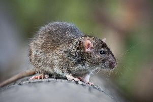 Pest control has been sent to more than 850 streets in Edinburgh due to rats (Photo: Shutterstock)