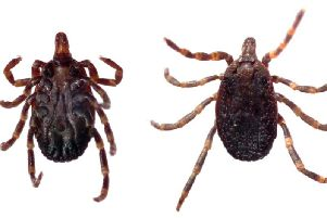 The hyalomma tick was discovered in Dorset last year and was 10 times larger in size than average
