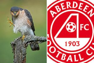 A man wearing a full Aberdeen Football Club strip tried to take Sparrowhawk chicks from their nest in a wooded area is west Edinburgh. '(Sparrowhawk picture by Gordon Coe)