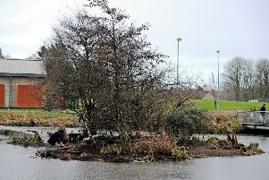The island at The Lido was a popular nesting place for swans. Pictures Michael Gillen
