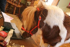 Shetland pony Hamish is on his way to Falkirk to educate youngsters