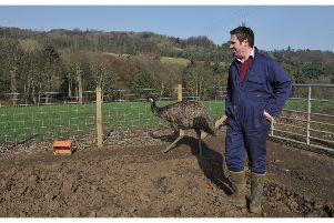 Steve with the emus