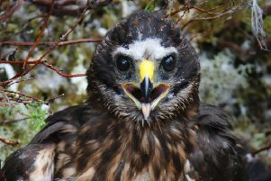 Appeal for information about female hen harrier Calluna.