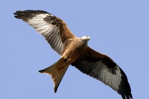 An investigation has been launched after three red kites were found illegally poisoned.