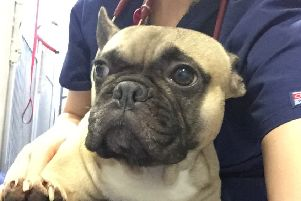 Poppet the French Bulldog saved after spinal surgery.