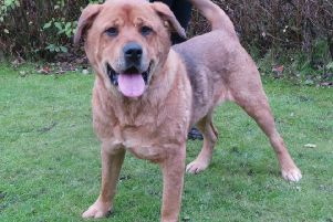 Bear is currently being looked after by Dogs Trust Glasgow as he seeks a new home