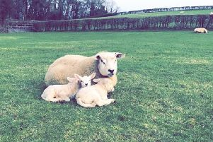 A number of sheep and lambs were killed or injured in the incident.