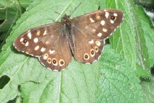 Column: Waiting impatiently for first sighting of a Scottish butterfly