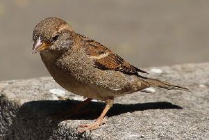 Sparrows are common visitors to gardens in the Southside of Glasgow.