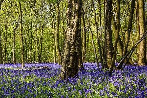 Column: The first bluebells are out in bloom
