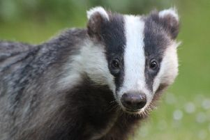 Network Rail is working to prevent disruption to the homes of badgers close to railway lines.