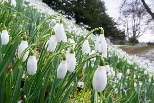 Scottish Snowdrop Festival blossoms from this weekend
