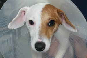 Jack Russell becomes 'Jane' following gender reasignment surgery.