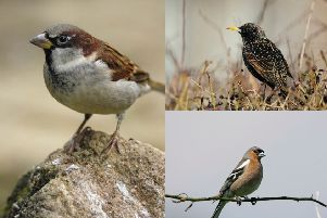 The house sparrow (left), starling (top right) and chaffinch were the top three birds spotted in gardens in Scotland last year. (Photos: Ray Kennedy/Andy Hay rspb-images.com)