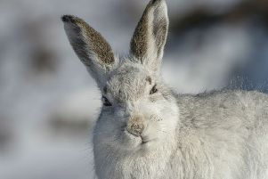 "Mountain hare culls continue despite a period of ""voluntary restraint"""