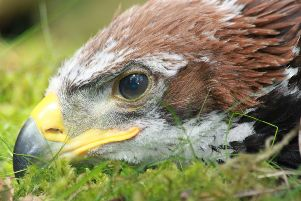 A young satellite-tagged golden eagle has disappeared in highly suspicious circumstances in the Pentland Hills, just seven miles from the Scottish Parliament building in Edinburgh.