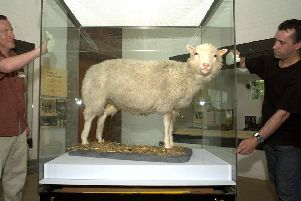 Dolly the Sheep evaded bungling kidnappers. Picture: Ben Curtis