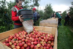 Fruitpicking vacancies have traditionally been filled by EU workers in the past. Picture: Getty