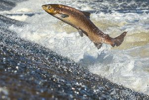 Global warming has been blamed for the 'worst ever' salmon season