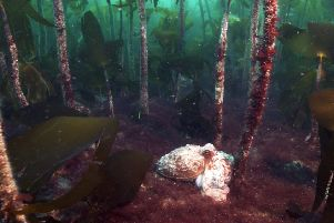 An octopus moves through a kelp forest (Picture: Andy Jackson/Subsea TV/PA Wire)