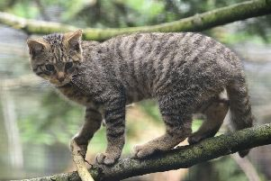 Scotland's wildcats are at risk from interbreeding with their domestic cousins (Picture: RZSS)