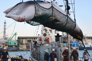 A minke whale is unloaded at a port on the island of Hokkaido in Japan (Picture: Kyodo News via AP, File)