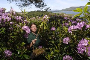 Rhododendron ponticum is beautiful but chokes the life out of the internationally important Celtic rainforests of Scotland's west coast (Picture: Robert Perry)