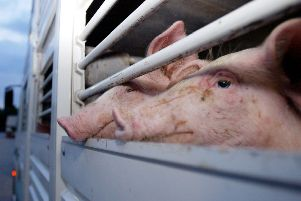 Scientists at Roslin Institute have used technology to produce pigs that are resistant to disease