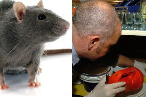 Plague of super rats 'immune from poison' invading Scottish homes