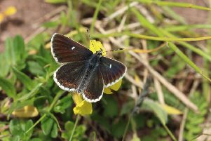 The number of northern brown argus, a conservation priority species, increased by 53 per cent year-on-year