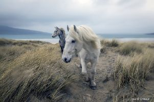 Living with the famous white ponies of Luskentyre Beach