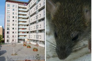 Video: Giant rats running riot on Scottish housing estate