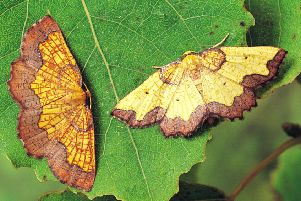 The latest records show the Dark Bordered Beauty moth, which has been named as a conservation priorty, is increasing. Picture: Roy Leverton