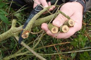 Ash dieback is predicted to cost �15 billion in Britain'.