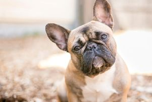 A fawn-coloured French Bulldog. Pic: Mary Swift-Shutterstock