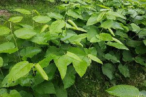 Knotweed often requires heavy-duty weedkillers or excavations to get rid of